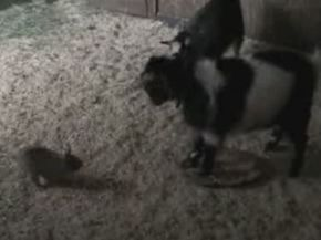 Bunny Takes on Goat