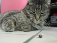 Lazy Cat vs Lazy Fly