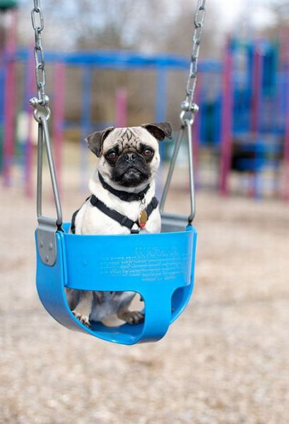 Dogs on Swings