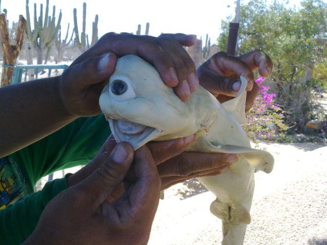 Uncanny Factoid: One Eyed Shark