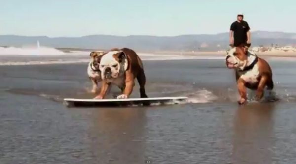 Bull Dog's Better at Surfing and Skateboarding than Me! [VIDEO]