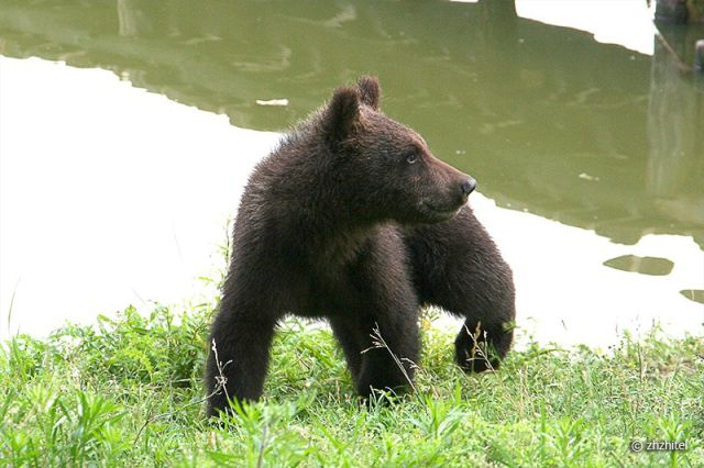 Meeting With Bear Cubs