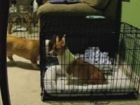 Smart Corgi Helps Little Sister to Escape