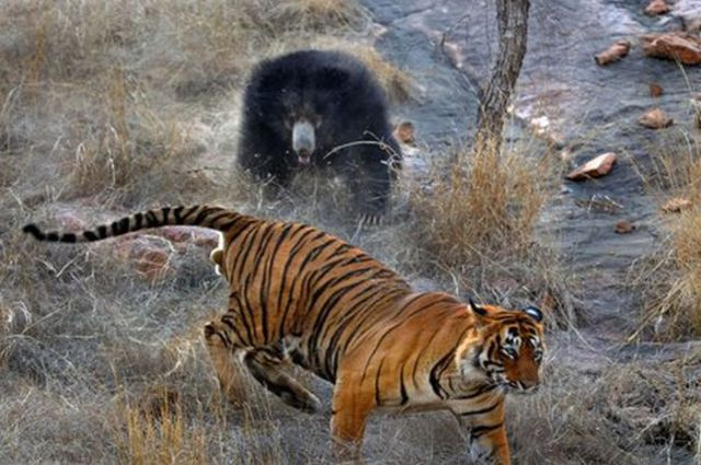 The Mother Bear and the Tiger