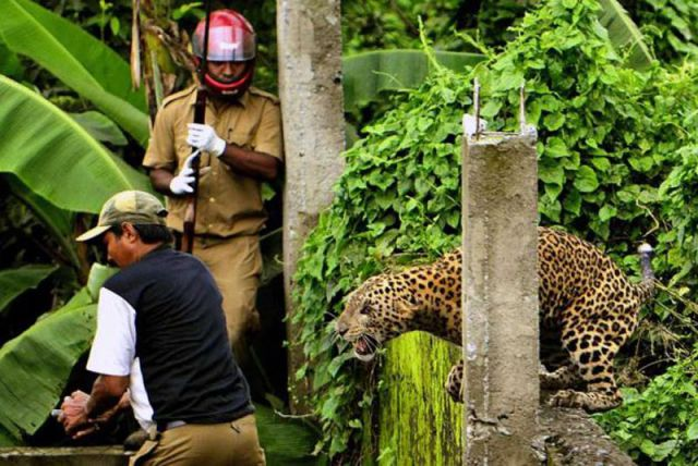 Wild Leopard Hunts in a Village