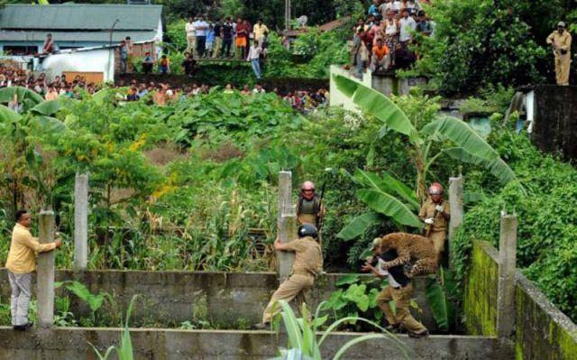 Wild Leopard Hunts in a Village