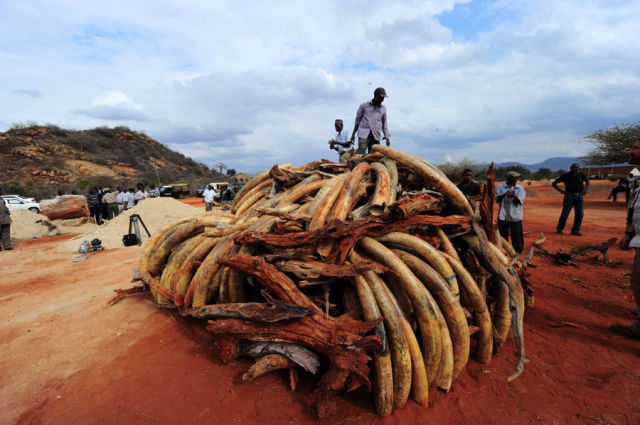 Burning Tusks  (14 pics)