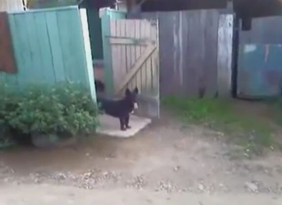 Doorkeeper Dog Is Unflappable [VIDEO]