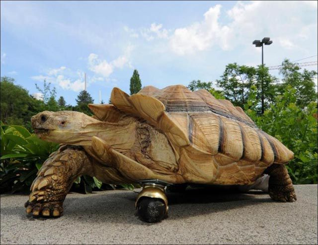 Prosthesis for a Tortoise