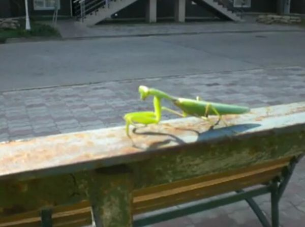 Praying Mantis Had Sex, Now Wants to Eat Heads! [VIDEO]