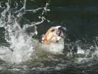 Bulldog's Not That Good at Swimming