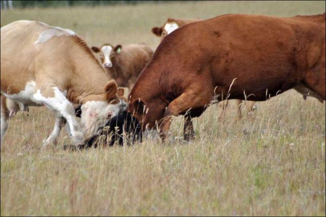 Cow Herd Battles a Bear