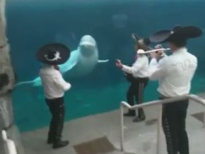 Mariachi Band Plays for a Beluga Whale