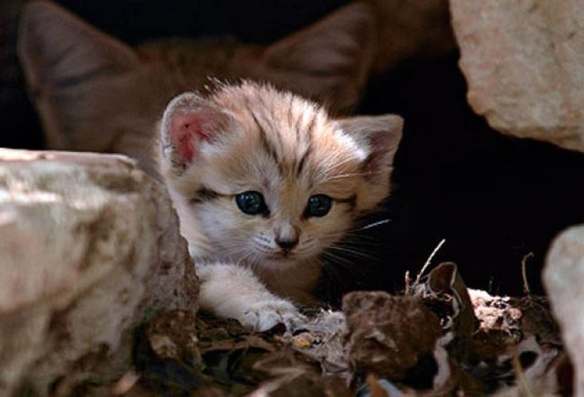Rare and Unusual Sand Cat Kitten