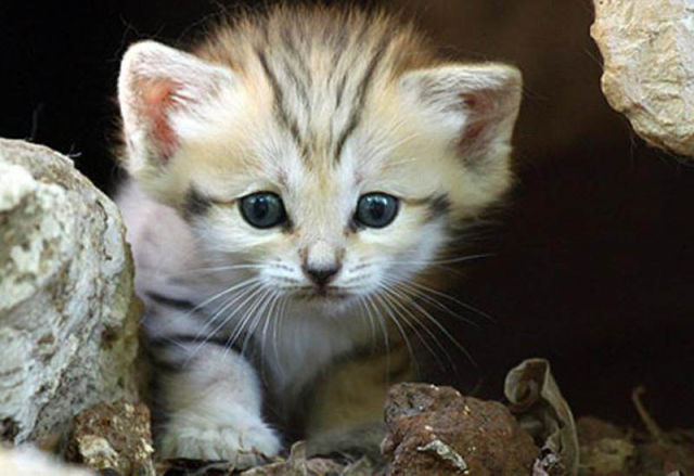 [Image: rare_and_unusual_sand_cat_kitten_640_07.jpg]
