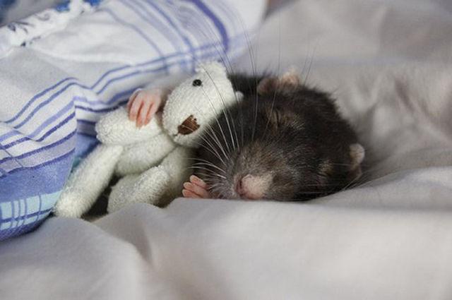Cutest Rat You