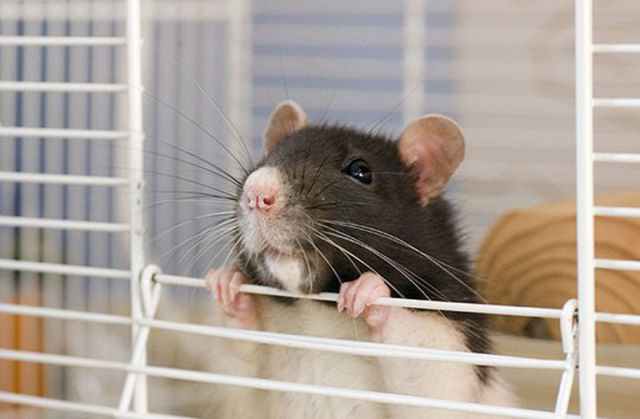 Cutest Rat You