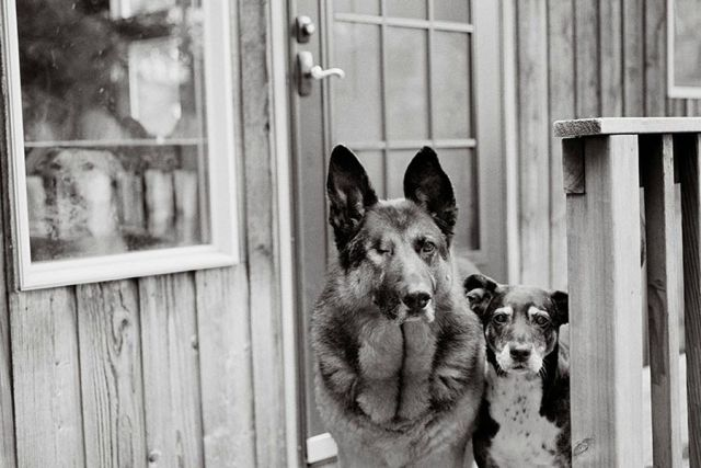 Aged Dogs