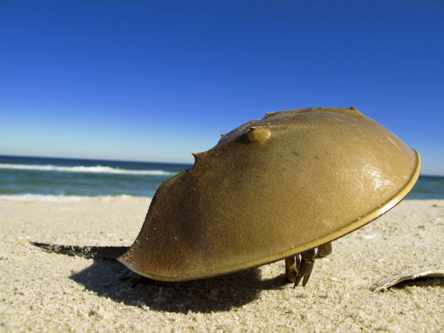 Amazing Horseshoe Crabs with Blue Blood