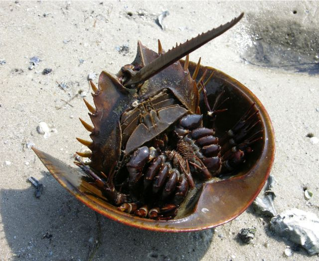 Amazing Horseshoe Crabs with Blue Blood