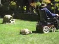 Tortoise vs Man in Motorized Chair