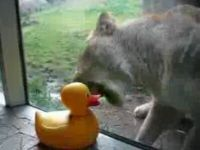 Poor Lion Just Can't Eat Rubber Ducky