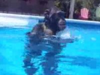 Have You Ever Seen a Chimp Scuba Diving