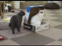 Bully Cat Imprisons Other Cat in a Box