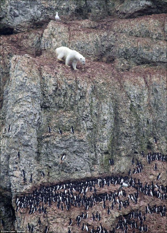 Bear Climber
