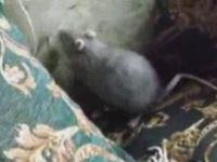 How to Deactivate a Rat