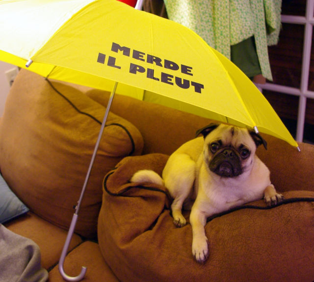 Pugs Preparing for the Hurricane