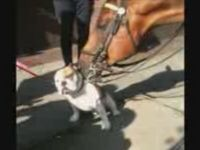 NYPD Horse Has a Thing for Bulldog