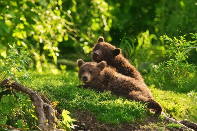 Cute Russian Bears