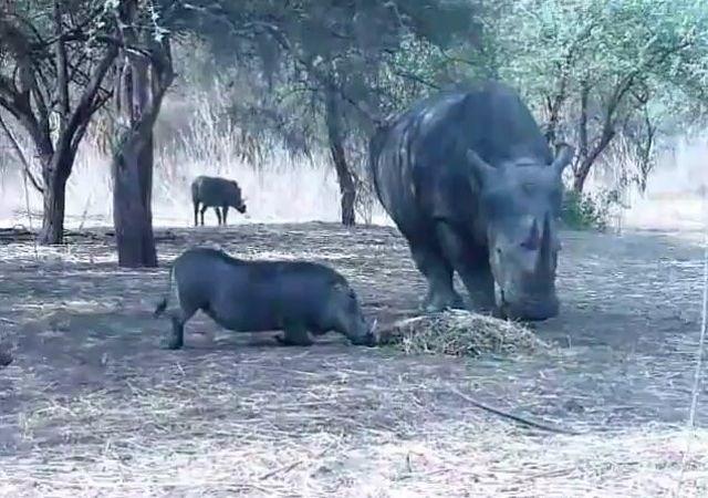 OMG. Rhino vs Warthog [VIDEO]