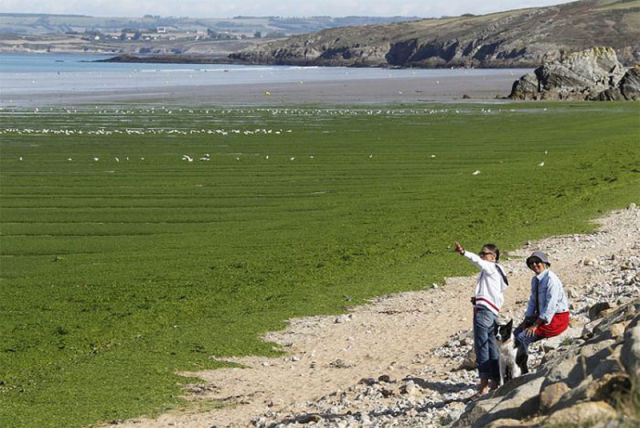Foul Smelling Algae on French Beaches