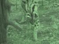 Big Cats Love Laser Pointers Too