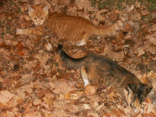 Adorable Felines Having A Blast In the Fall Leaves