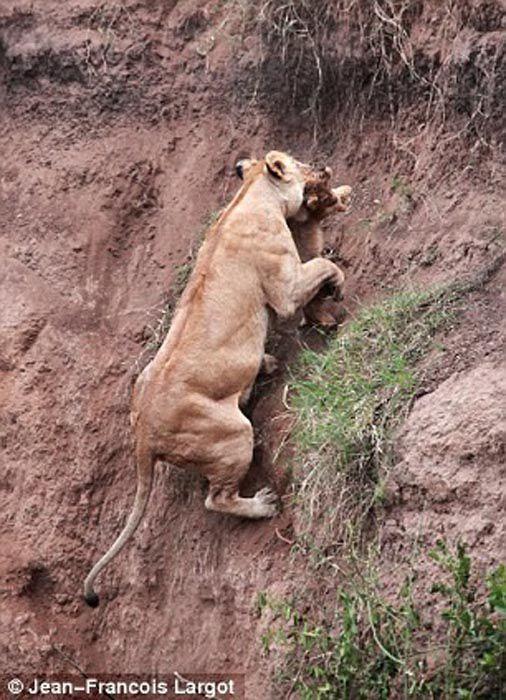 Lion Cub Courageous Rescue