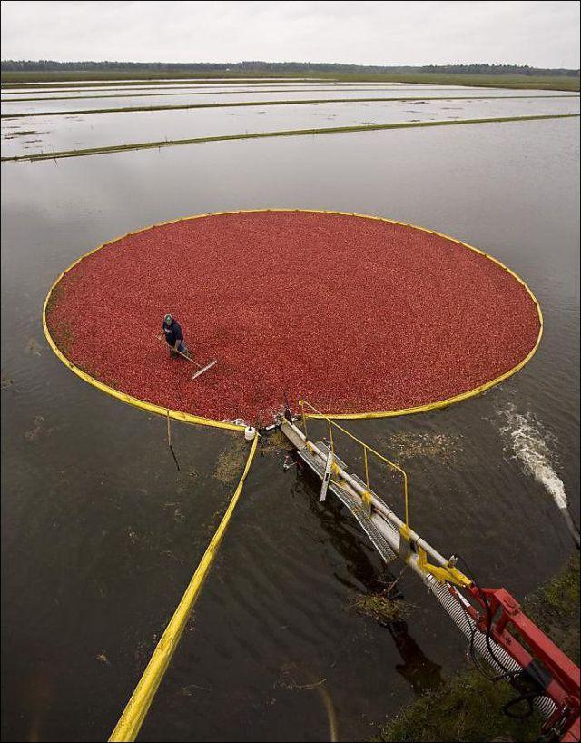 Impressive Cranberries Harvest