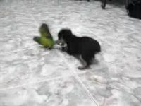 Dog Plays with Parrot