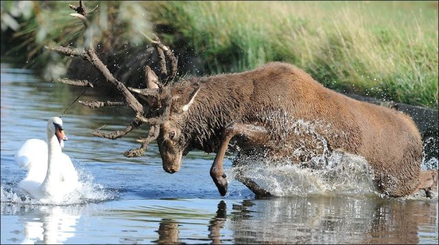 A Bull Elk That Is a Real Bully