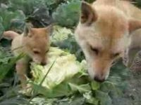 Shiba Inus Eating Lettuce