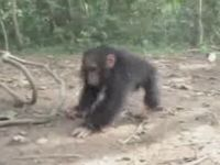 Cute Baby Chimp Loves to Spin