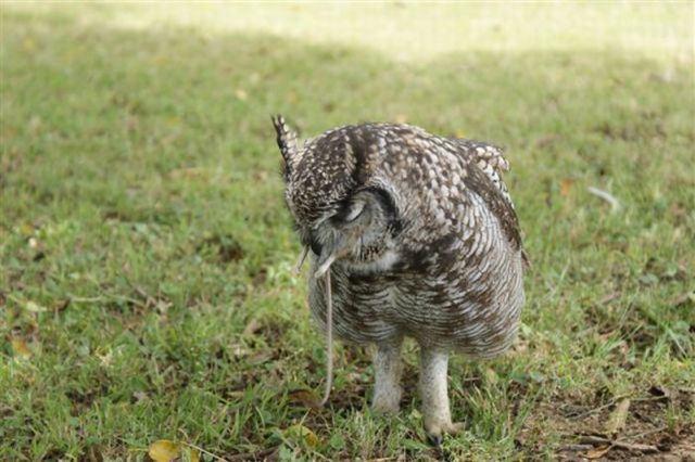 An Owl That Brings Gifts