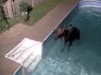 Moose Don't Want to Leave the Pool