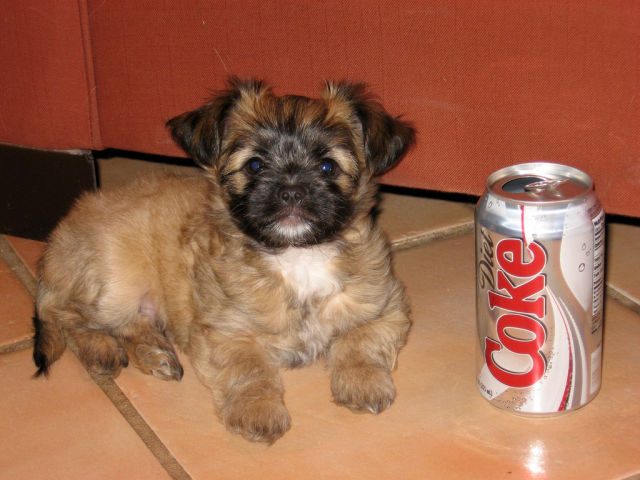 Soda Can Sized Puppies