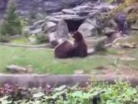 Female Bear Gives Male Bear a Treat