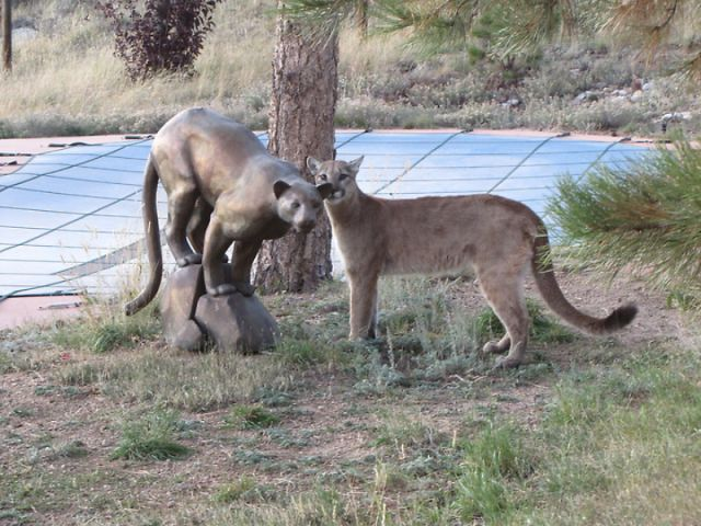 An Old Cat Facing a Young Mountain Lion