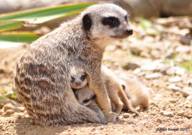 The Most Adorable Baby Meerkat Photos Ever Put Online