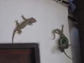Brave Gecko Saves His Friend from Snake